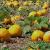 Steirisches Gourmet Kürbiskernöl | Kernöl g.g.A. in der Dose | kein Glas | Premium Qualität | hochdosiert | mildes Nussaroma | 100% vegan und kaltgepresst (1 l) - 3